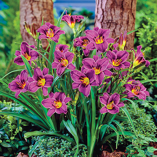 Purple D'Oro Daylily (Hemerocallis) - 1 Gallon Potted Perennial