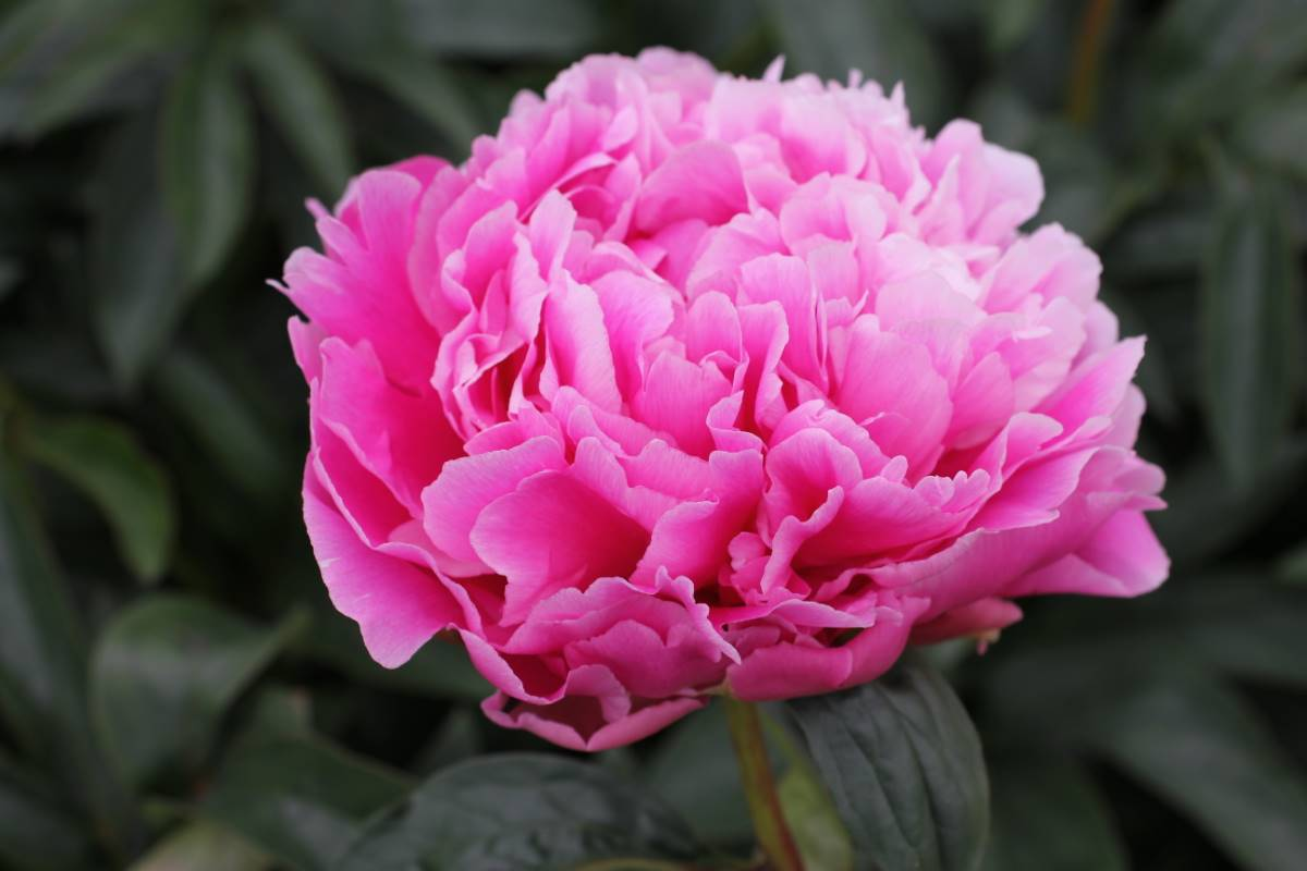 Jacorma Peony - 2 Gallon Potted Perennial
