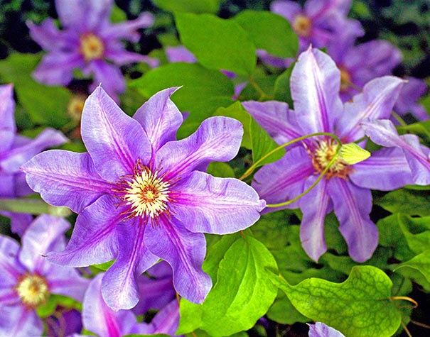 Clematis 'Barbara Jackman' - 1 Gallon Potted Vine