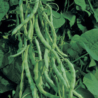 Kentucky Wonder Green Pole Bean Seeds (67 Days) -  1/4 lb - Bulk