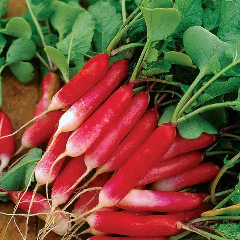 French Breakfast Radish Seeds (Summer Type) (23 days) - 1/8 Cup - Bulk