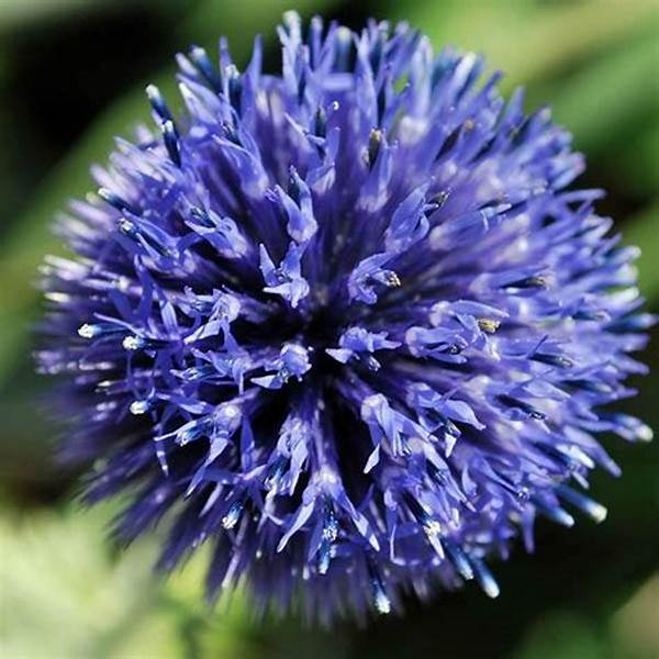 Echinops ritro 'Veitch's Blue' (Globe Thistle) - 1 Gallon Potted Perennial