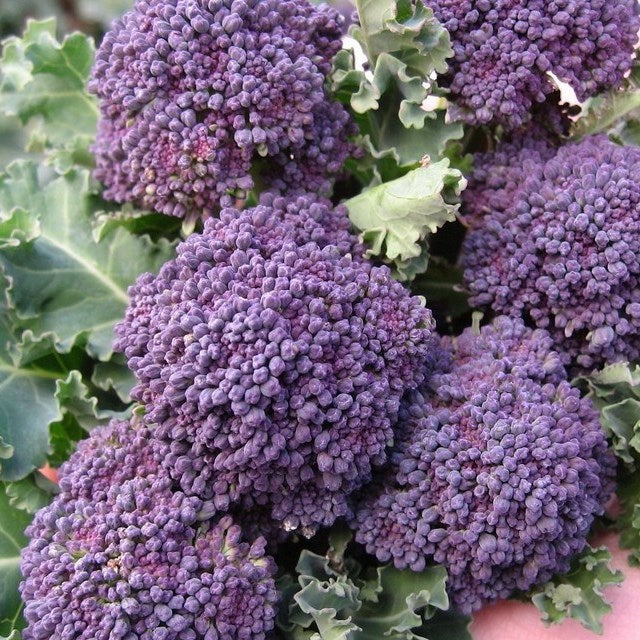 OSC Early Purple Sprouting Broccoli Seeds (Aimers International) - Packet