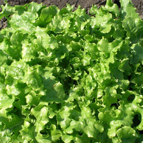 OSC Green Ice Lettuce Seeds (Aimers International) - Packet