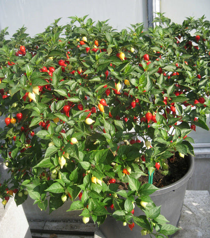 OSC Button Mix Chili Pepper Seeds (Aimers International) - Packet