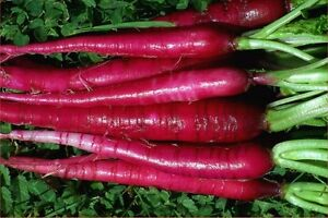 OSC Fire Candle Radish Seeds (Aimers International) - Packet
