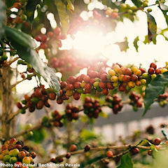 Beautiful coffee berries on branches of a tree with sunlight passing through. A photo taken by Daniel Reche.