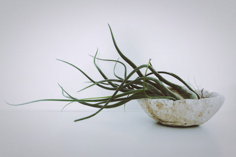 Air Plant Styling