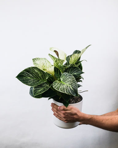 Philodendron Birkin Potted