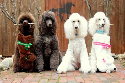 These Poodle shaped Christmas dog stockings are the perfect gift for stuffing toys and treats into to spoil your fur baby for Christmas, or whatever holiday you celebrate!