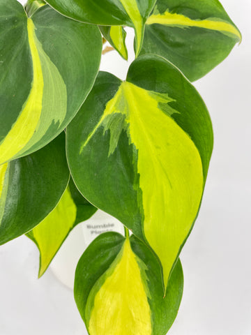 Philodendron Brasil Bumble Plants