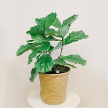 Load image into Gallery viewer, Fiddle Fig