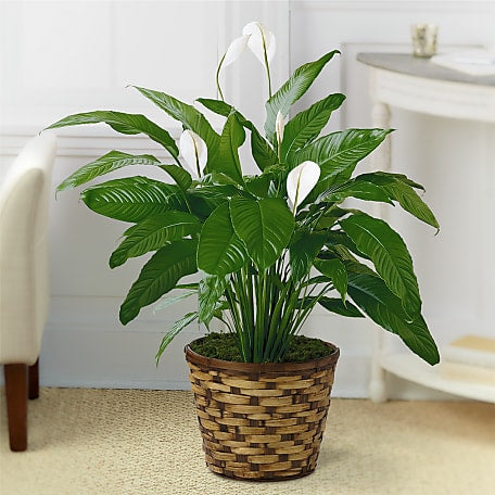 Green Plant Indoor Green Plants Delivered By Ftd