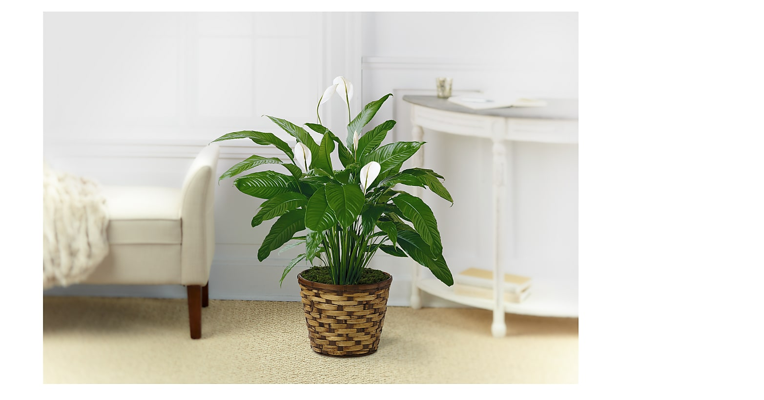 The Spathiphyllum Plant - Image 1 Of 2