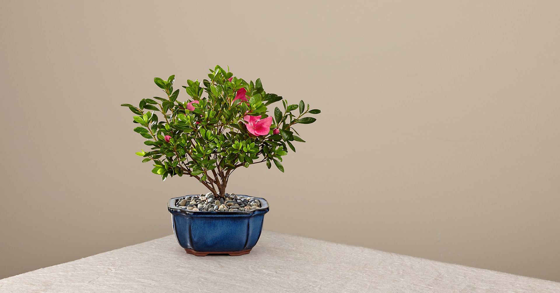 Blooming Azalea Bonsai - 8 inches - Image 1 Of 2