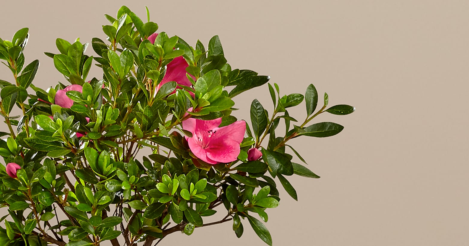 Blooming Azalea Bonsai - 8 inches - Image 2 Of 2