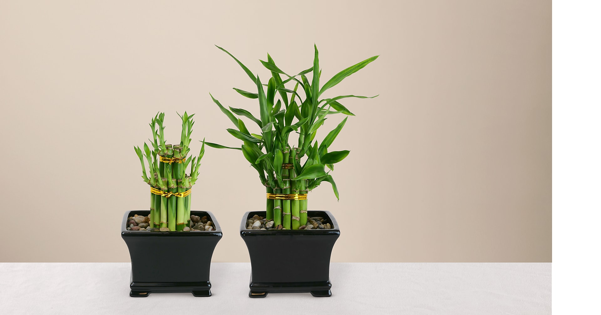 Double Lucky Bamboo - Image 2 Of 4