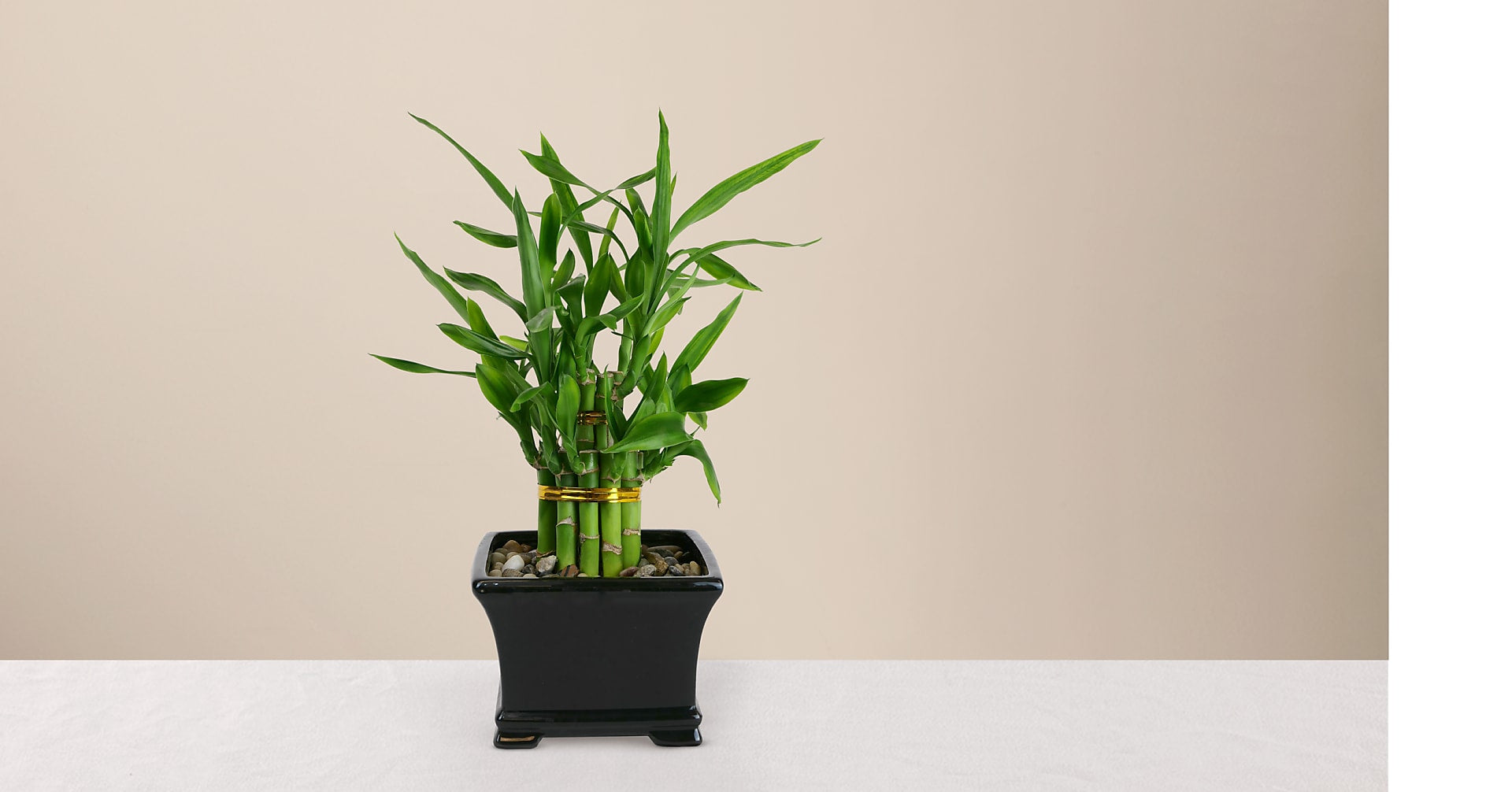 Double Lucky Bamboo - Image 1 Of 2