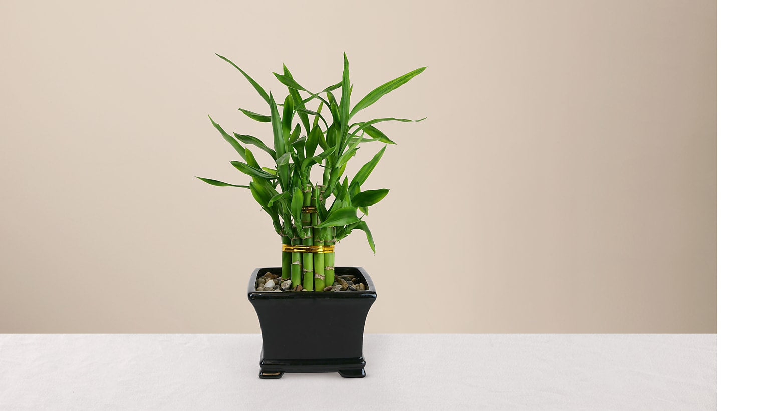 Lucky Bamboo - Image 1 Of 4