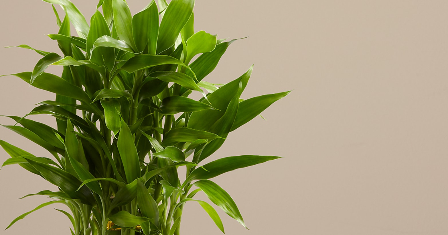 Lucky Bamboo - Image 3 Of 4