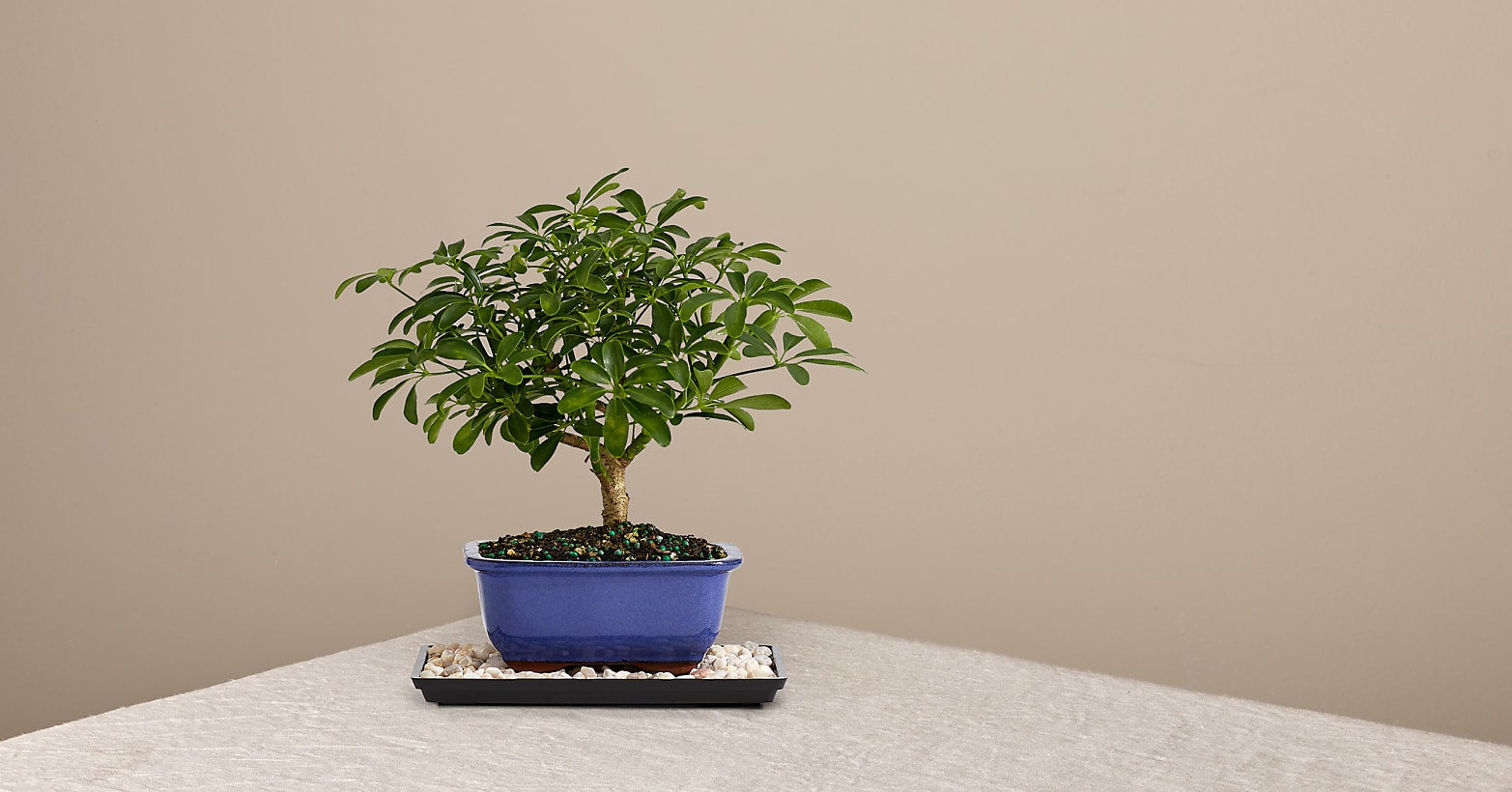Indoor Hawaiian Umbrella Bonsai - Image 1 Of 2