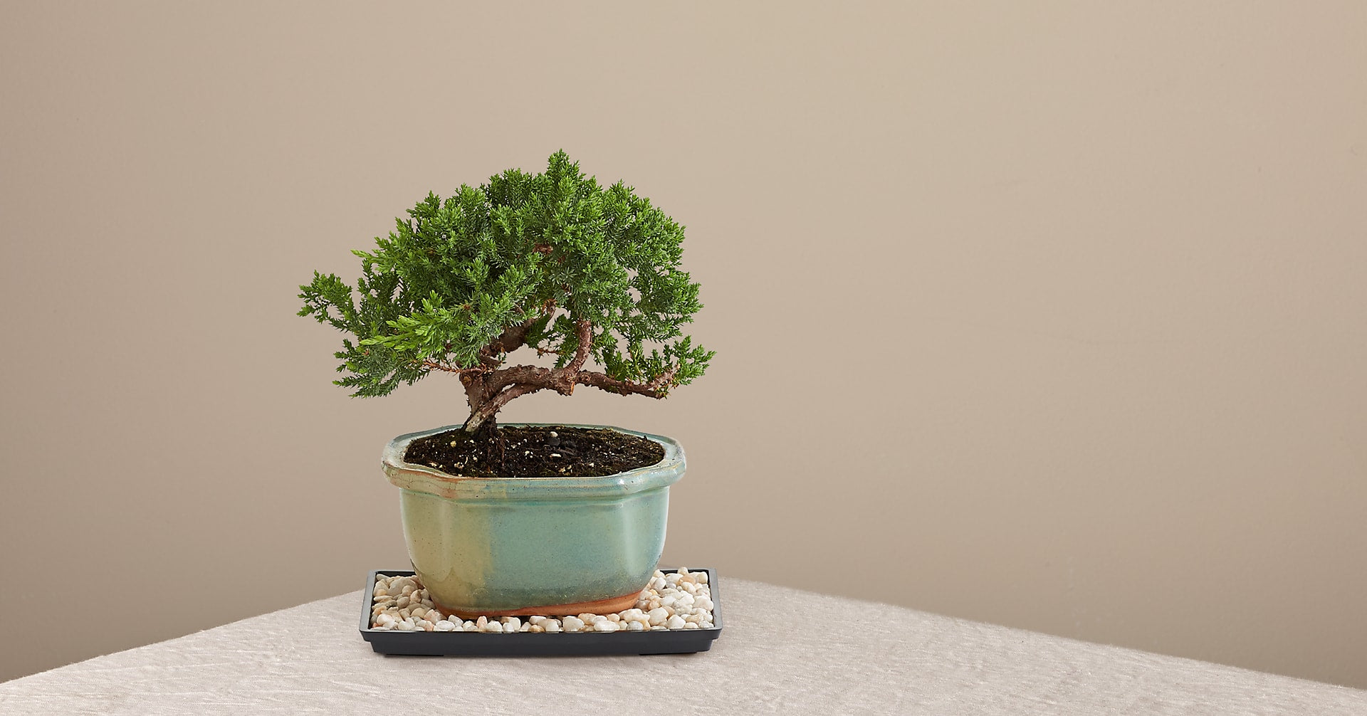 Juniper Bonsai Tree - Image 1 Of 2
