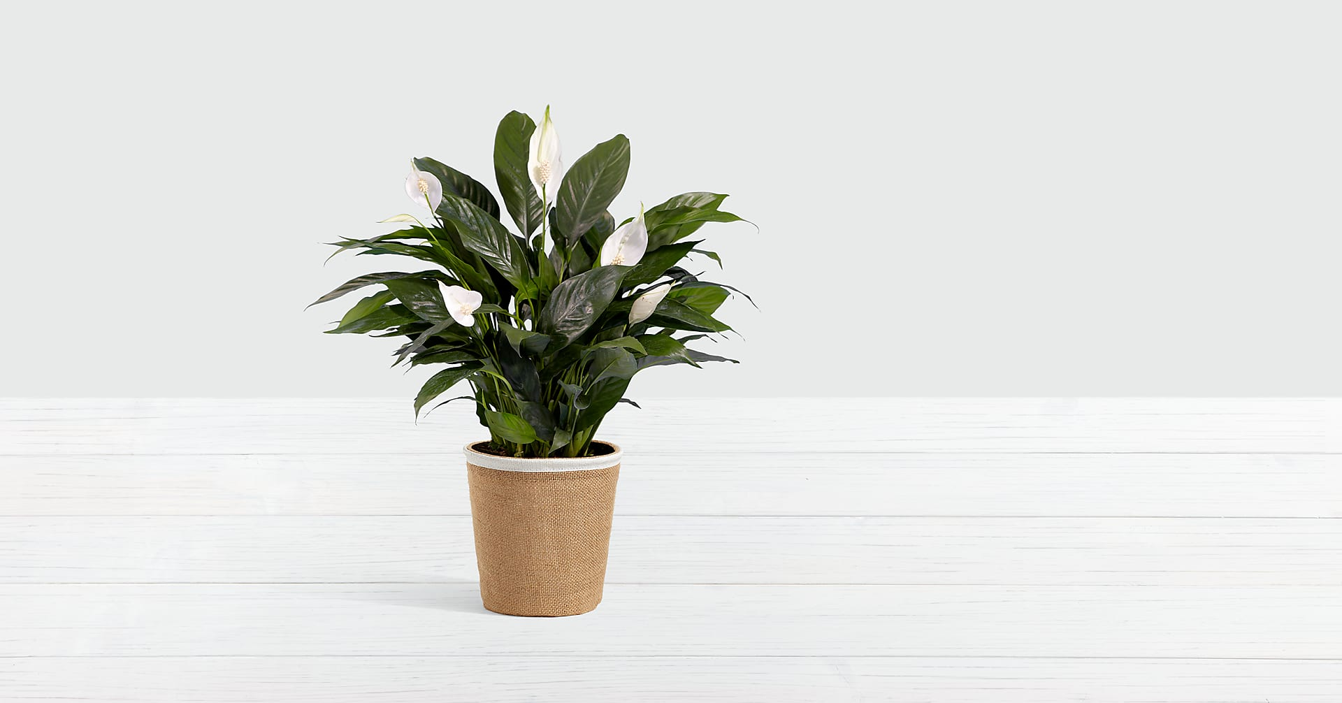 Lush Tropical Peace Lily in Burlap Container - Image 1 Of 2