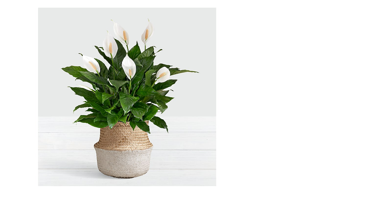 Deluxe Sympathy Peace Lily in White Dipped Belly Basket - Image 1 Of 3