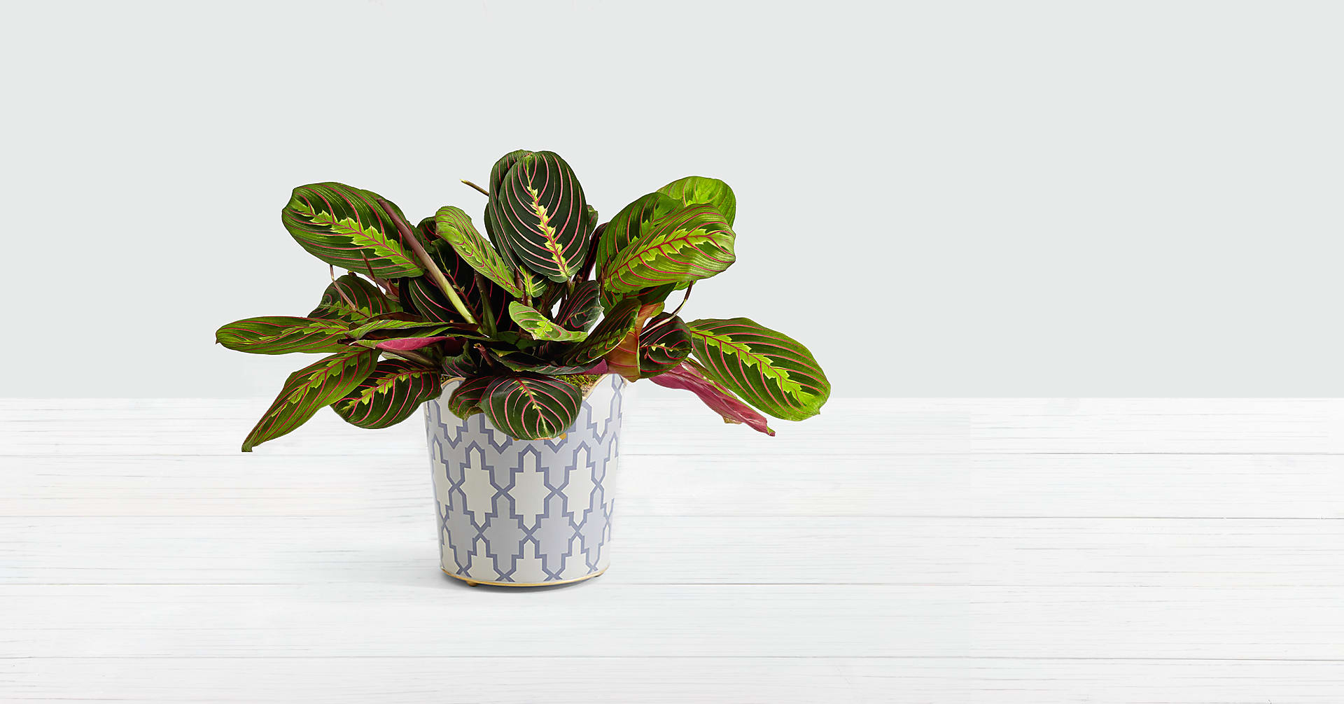 Pink Prayer Plant - Image 1 Of 3