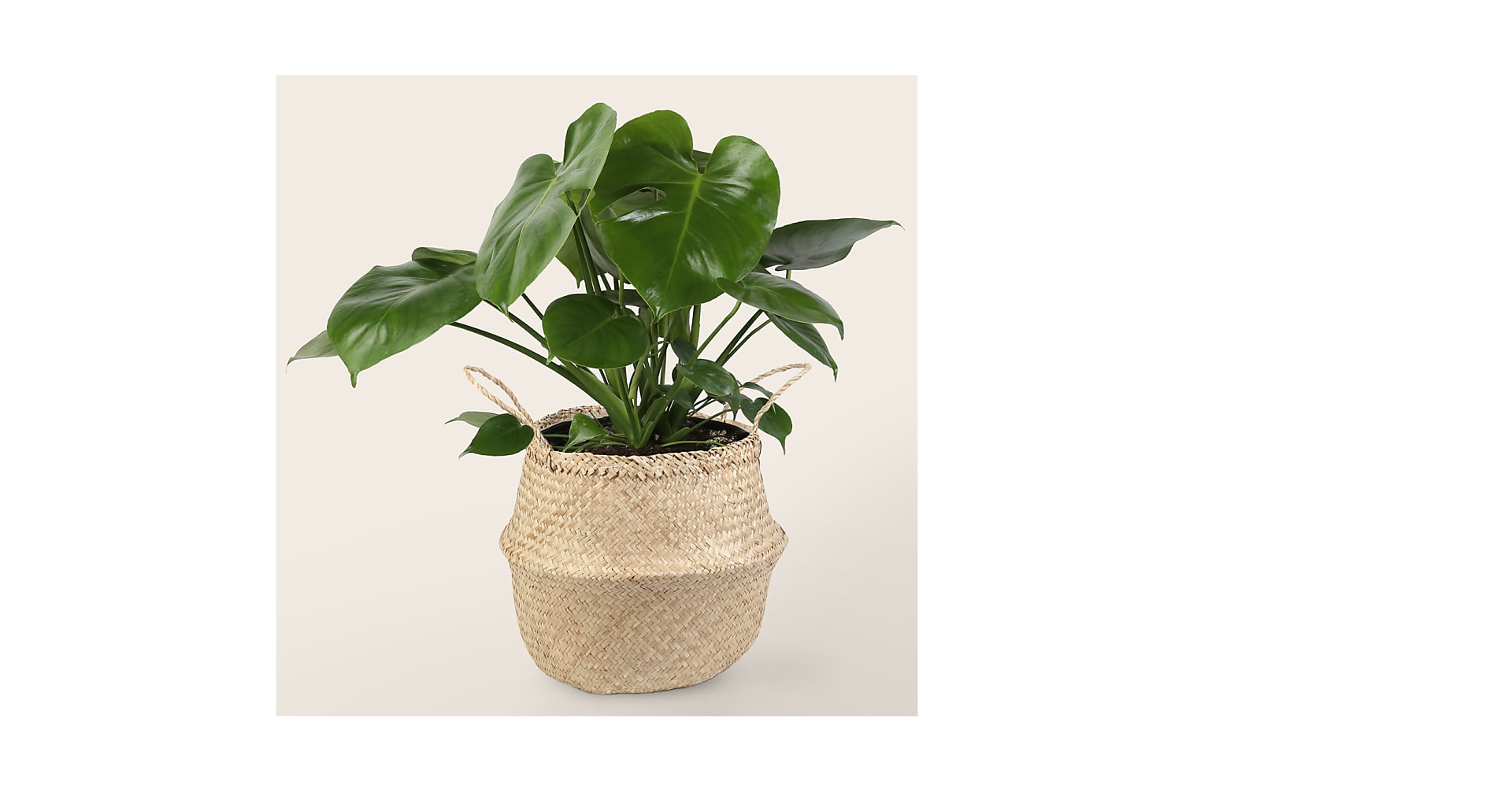 Monstera in Basket - Image 1 Of 2