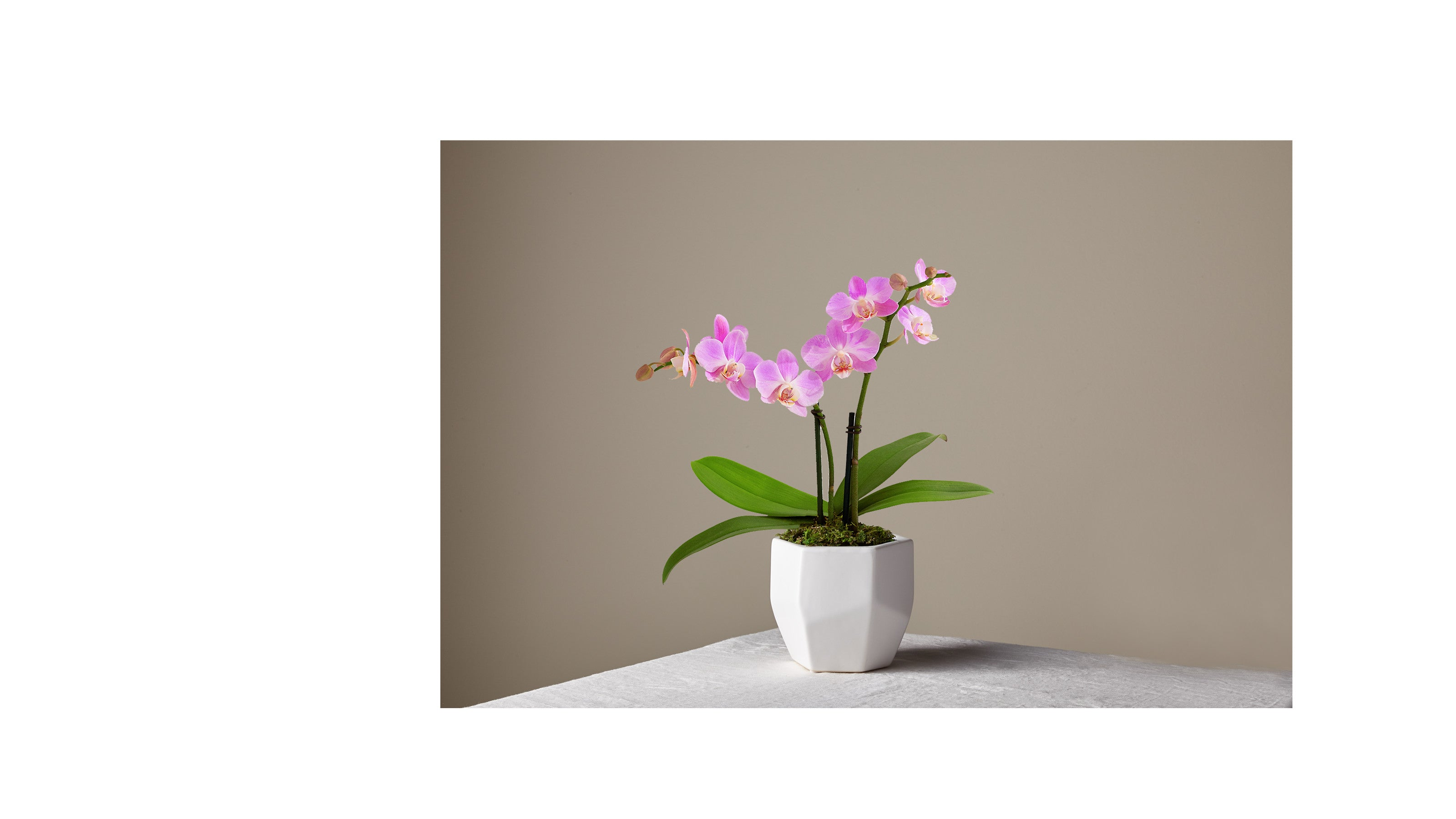 Someone Like You Pink Orchid
