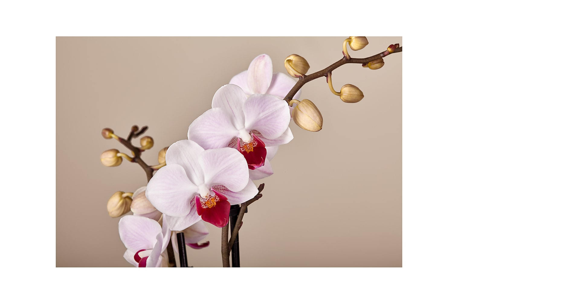 Someone Like You Pink Orchid - Image 2 Of 3
