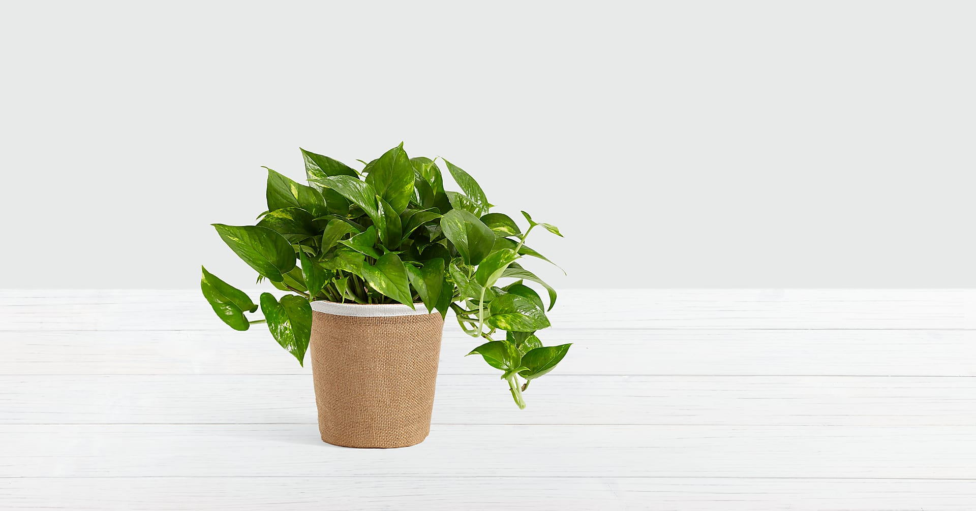 Golden Pothos - Image 1 Of 2