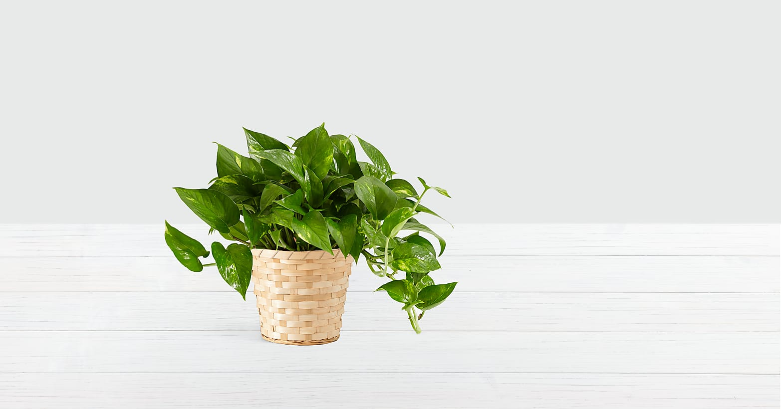 Golden Pothos - Tabletop Plant