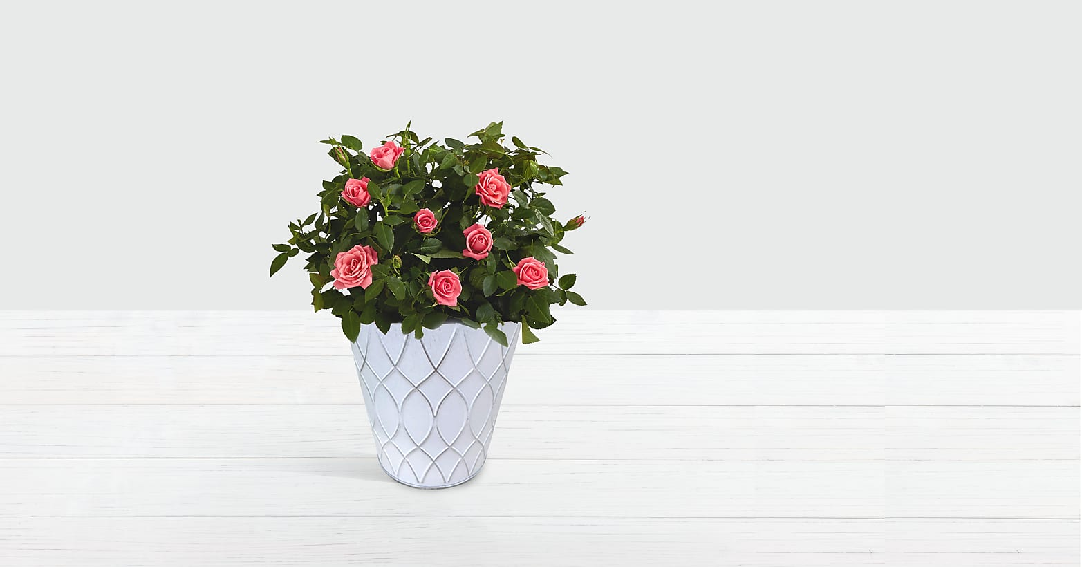 Potted Pink Roses in Tin
