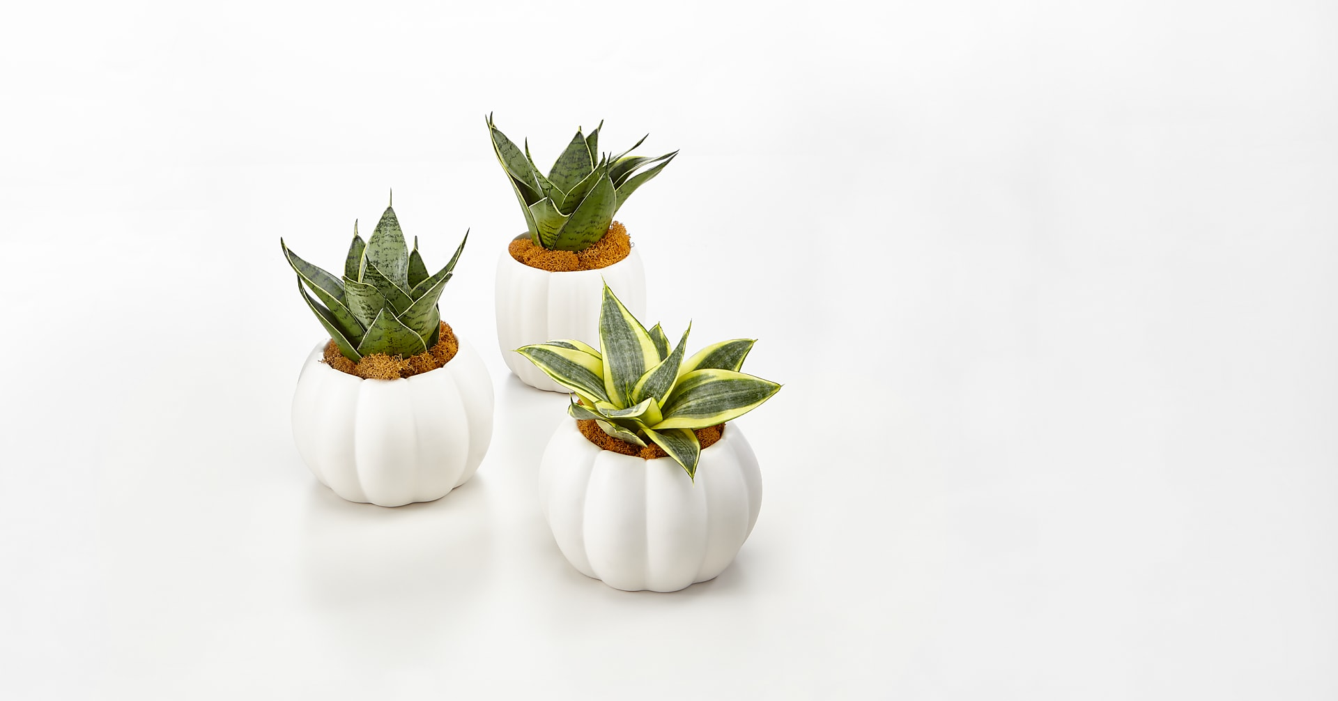 Fresh & Rustic Snake Plant Trio - Image 1 Of 6
