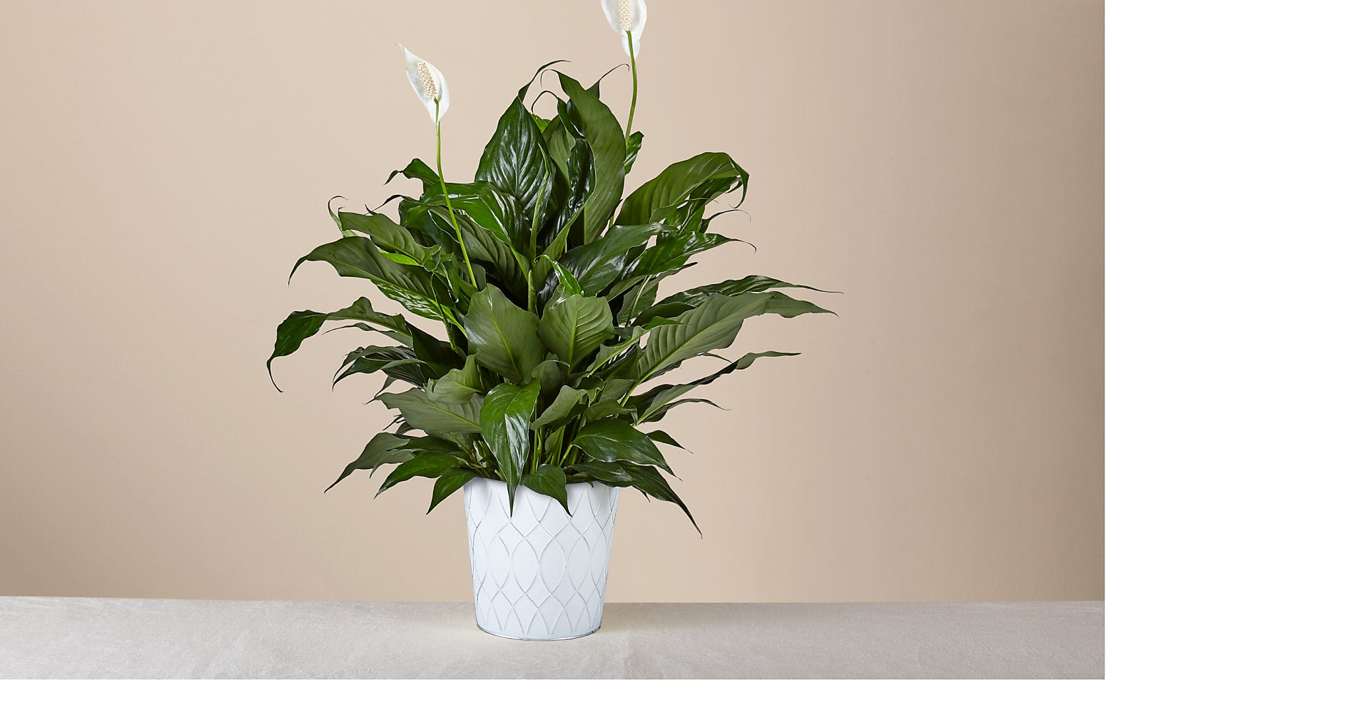 Lush Tropical Peace Lily in Tin