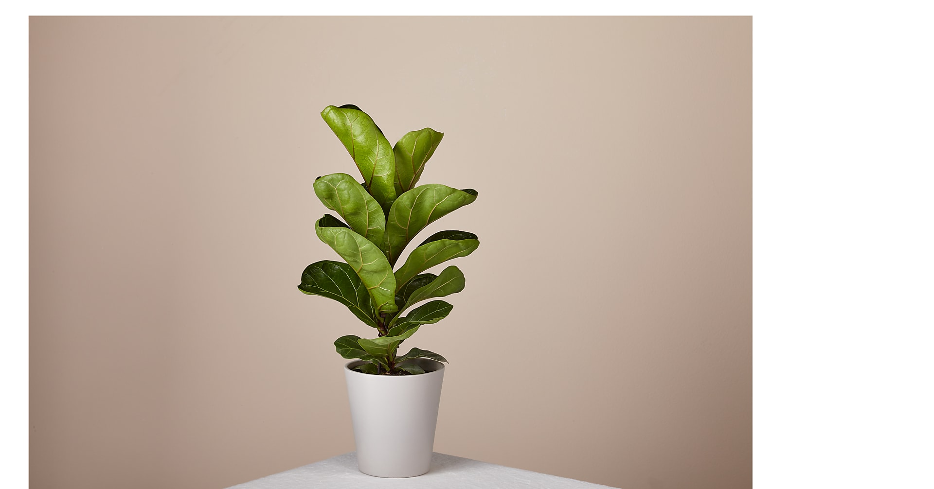 Fiddle Leaf Fig Plant - Image 1 Of 2