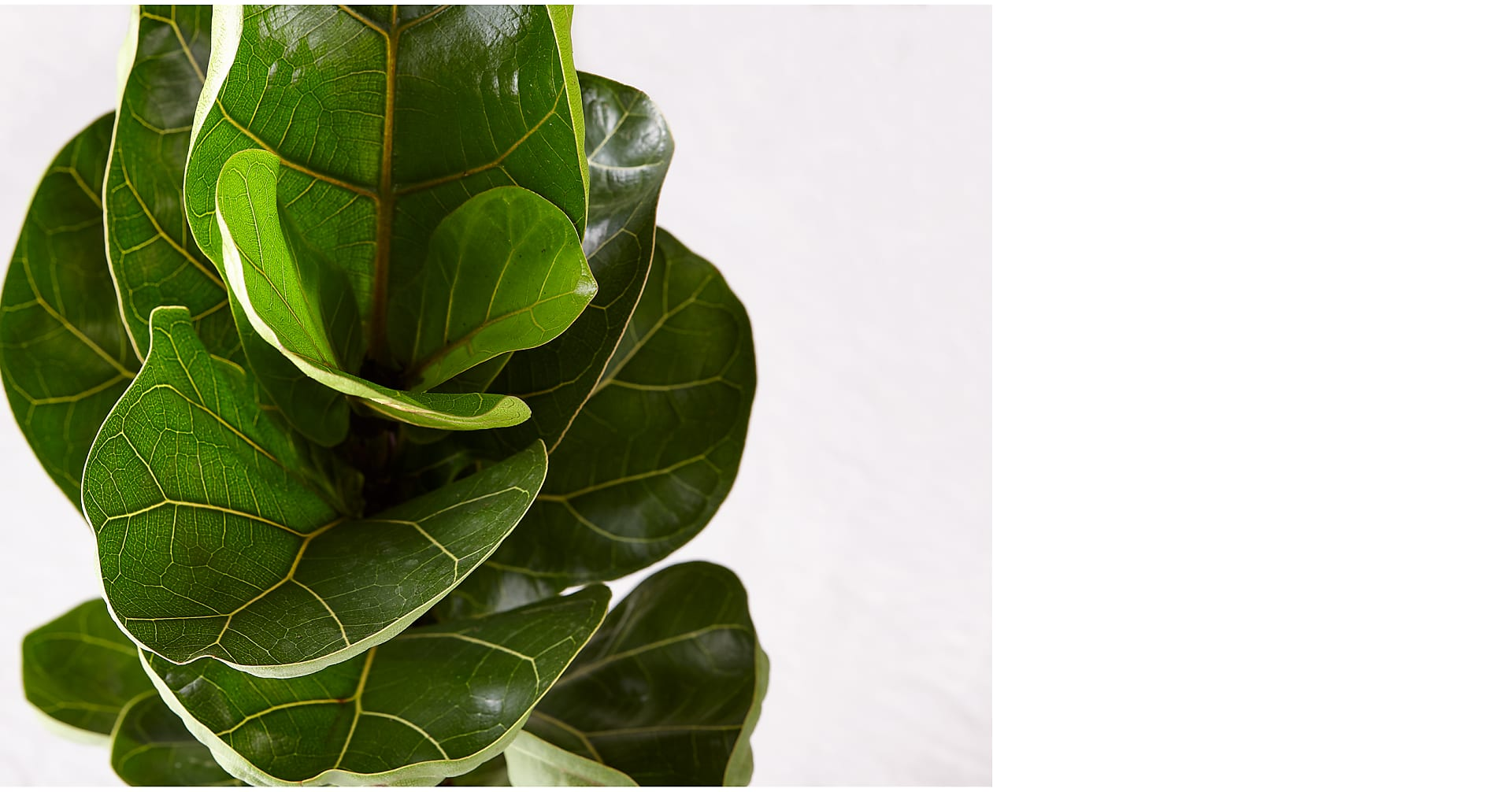 Fiddle Leaf Fig Plant - Image 2 Of 2