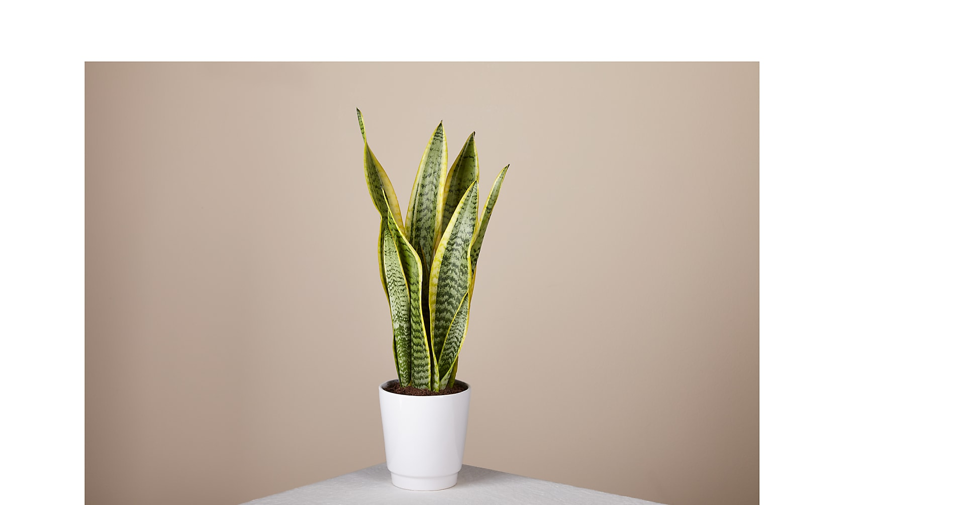 Snake Plant - Image 1 Of 3