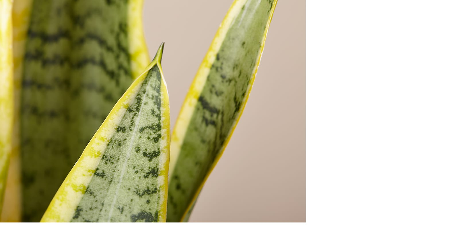 Snake Plant - Image 2 Of 3