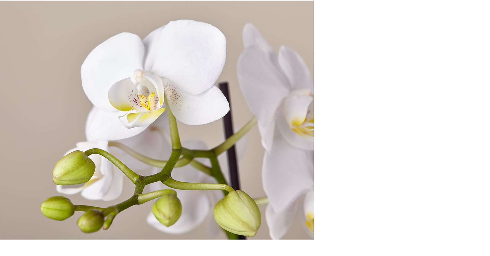 Bliss White Orchid - Image 2 Of 3