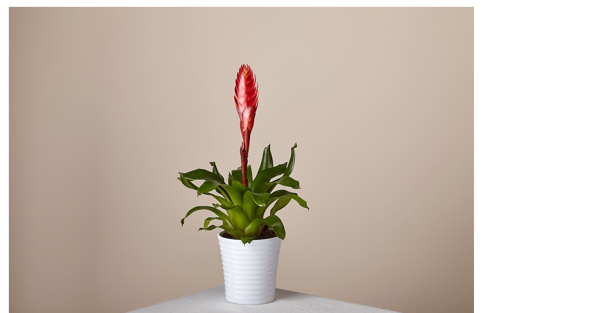 Red Bromeliad - Image 1 Of 3