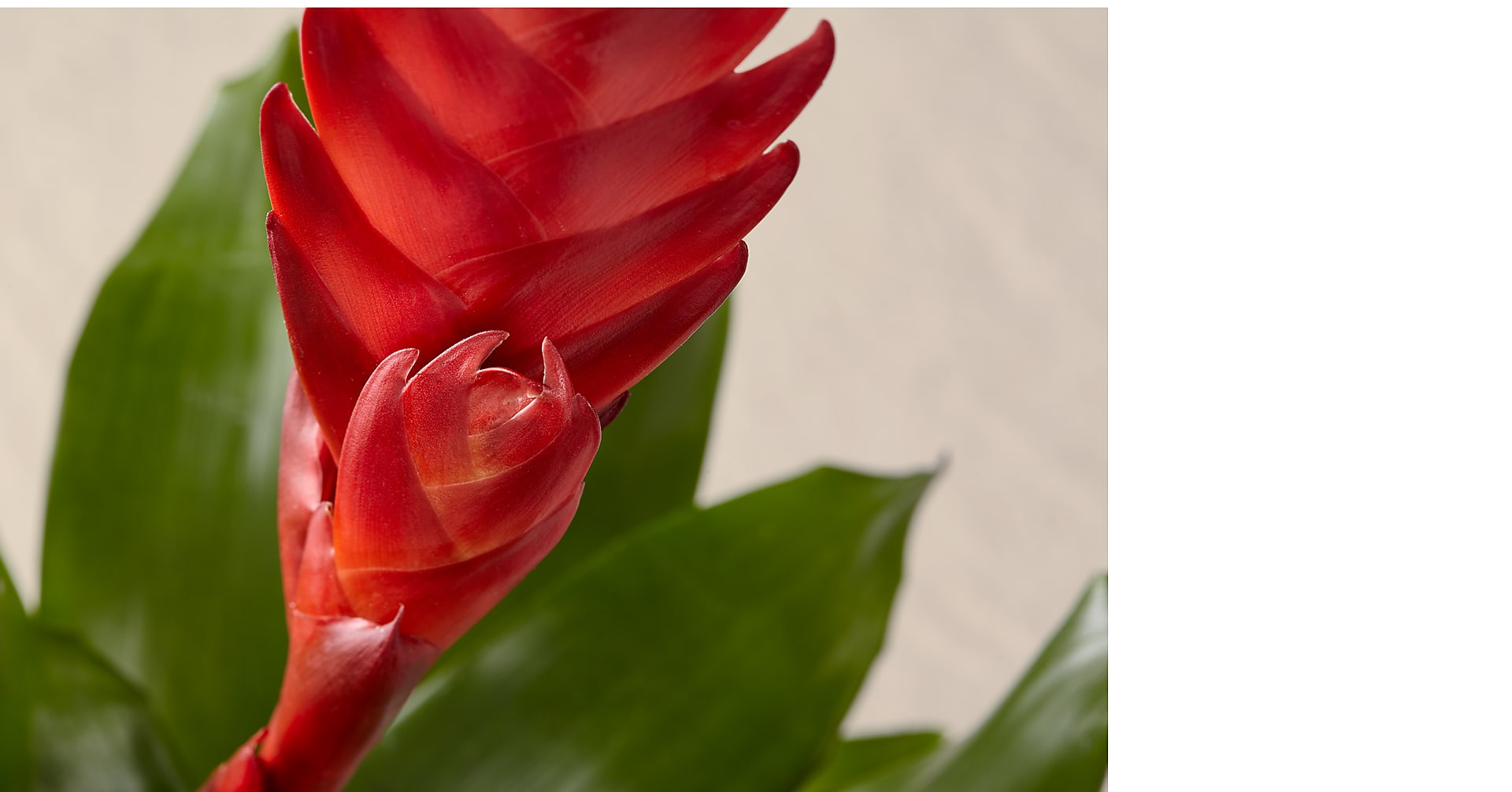 Red Bromeliad - Image 2 Of 3