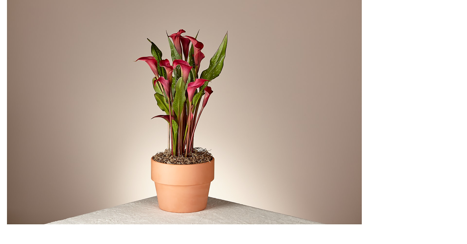 Falling in Love Red Calla Lily - Image 1 Of 2