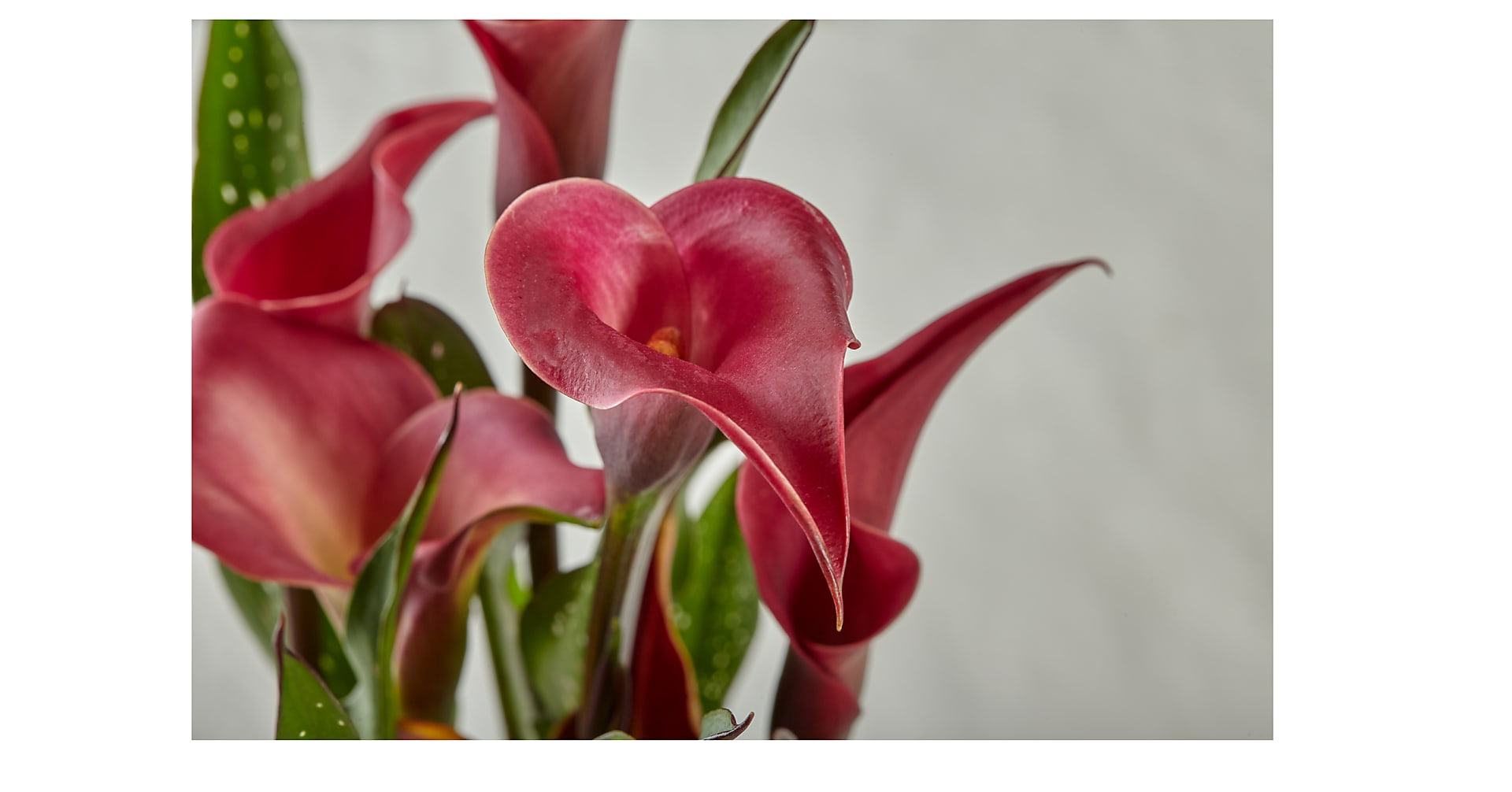 Falling in Love Red Calla Lily - Image 2 Of 2