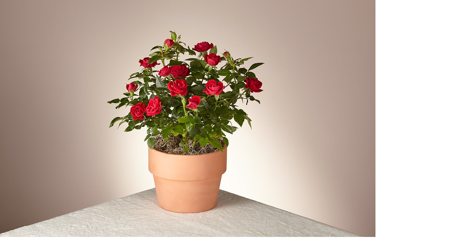 Blooming Red Rose Plant - Image 1 Of 2