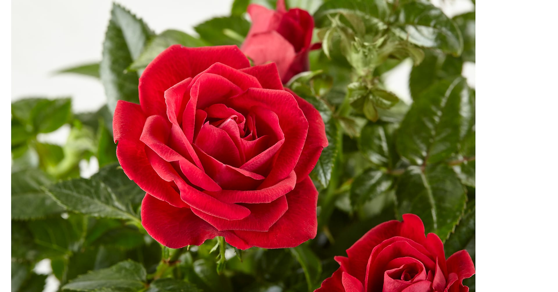 Valentine's Red Rose Plant - Image 2 Of 2