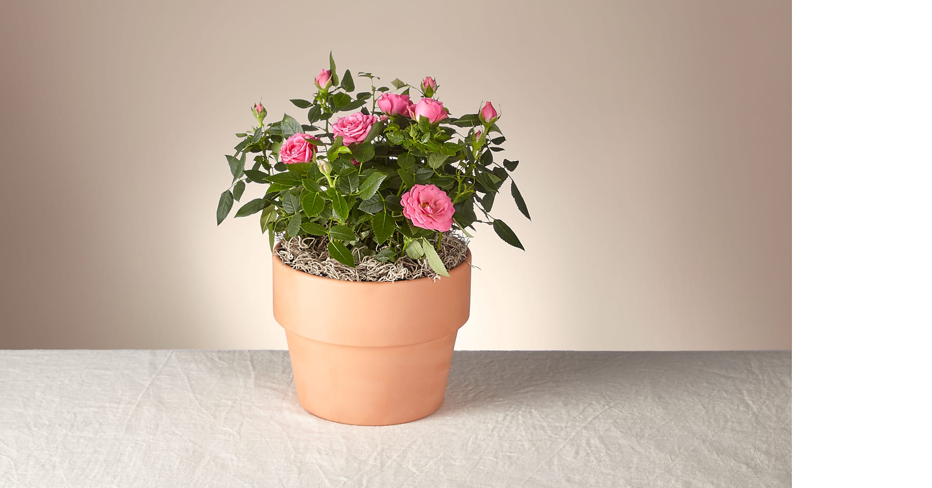 Young Love Pink Rose Plant - Image 1 Of 2