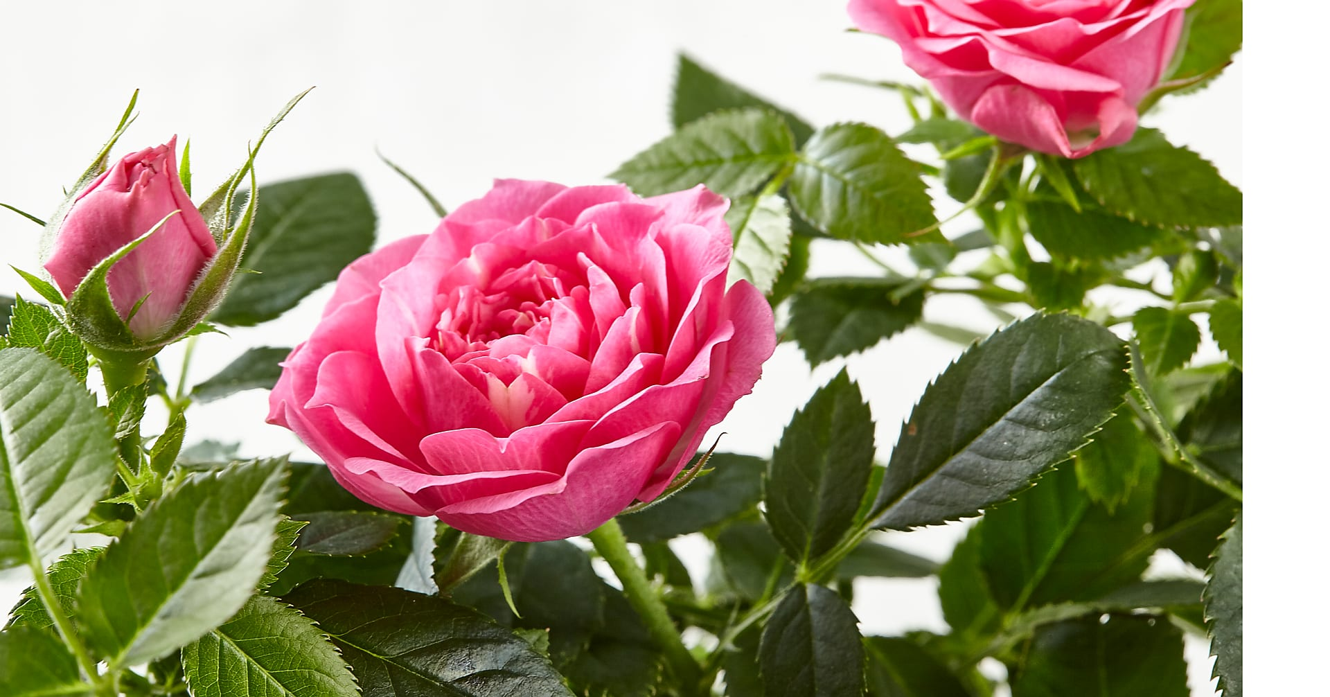 Young Love Pink Rose Plant - Image 2 Of 2